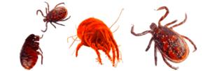 Pulci Zecche Acari